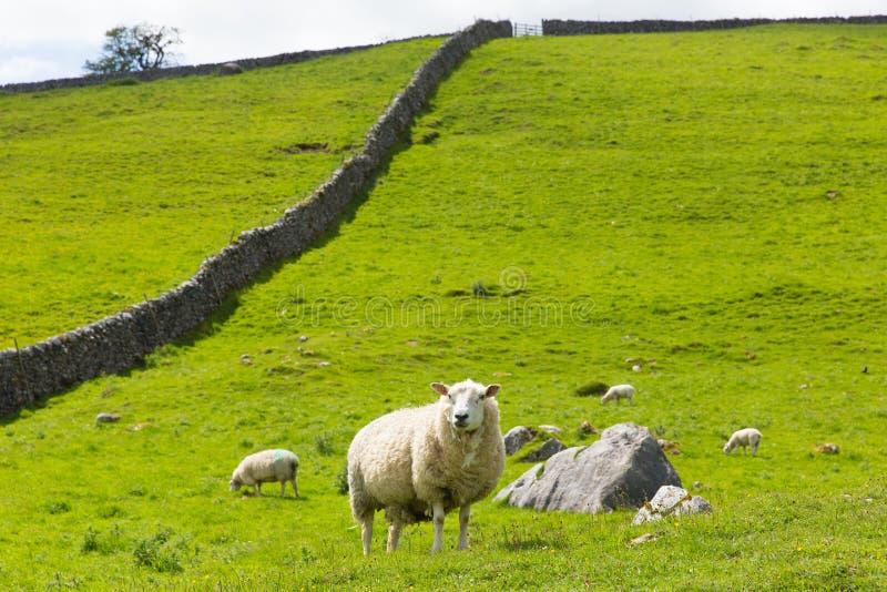 Moutons et mur de pierres sèches en vallées Angleterre R-U de Yorkshire photographie stock