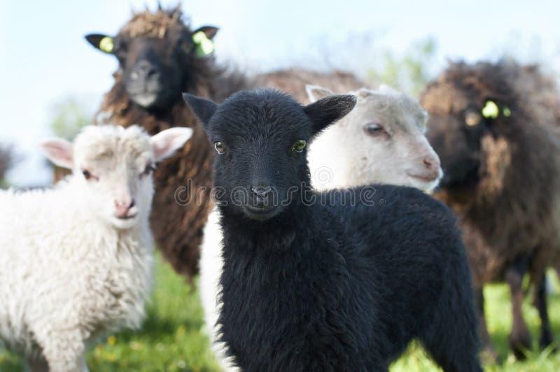 Moutons et un petit agneau curieux image stock