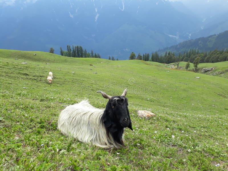 Moutons fatigués photographie stock libre de droits