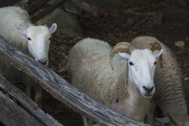 Moutons floconneux avec des klaxons, se tenant près de la barrière en bois, la Nouvelle Angleterre images libres de droits