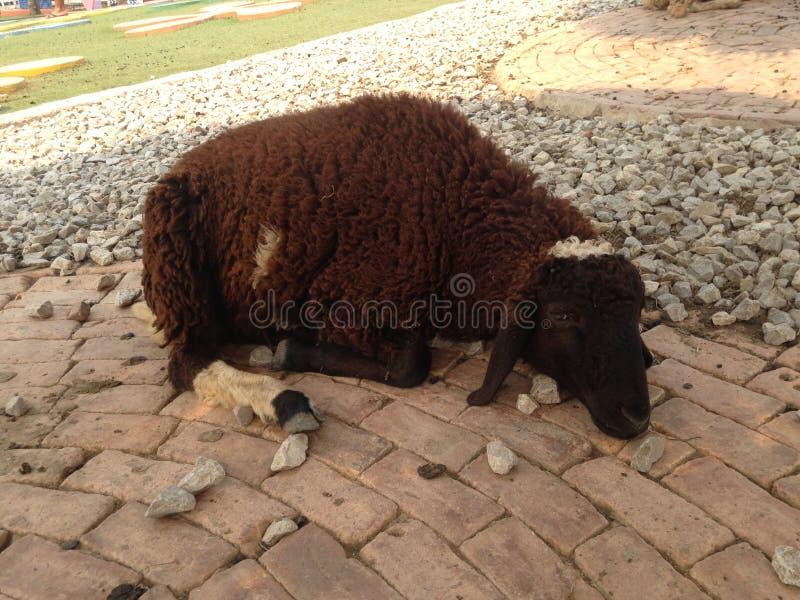 Moutons forts à la ferme photo stock