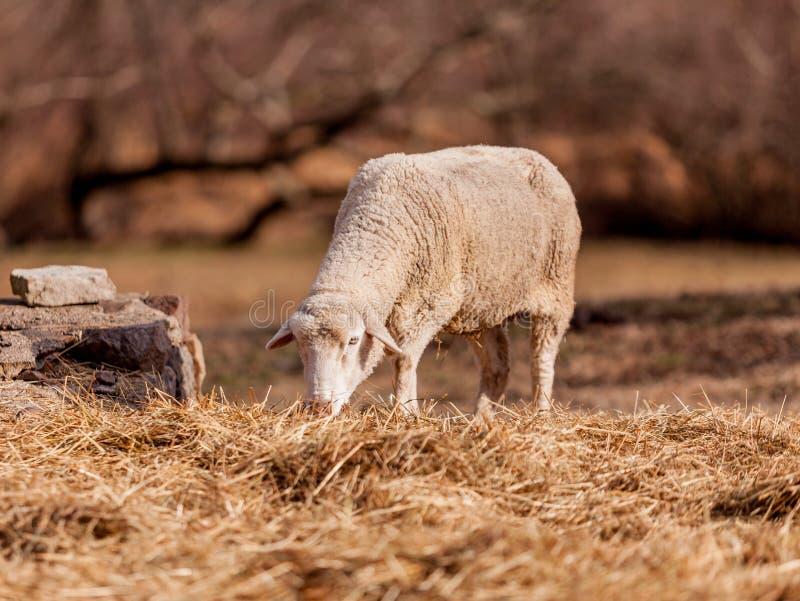 Moutons frôlant dans Hopewell, Pennsylvanie photos stock