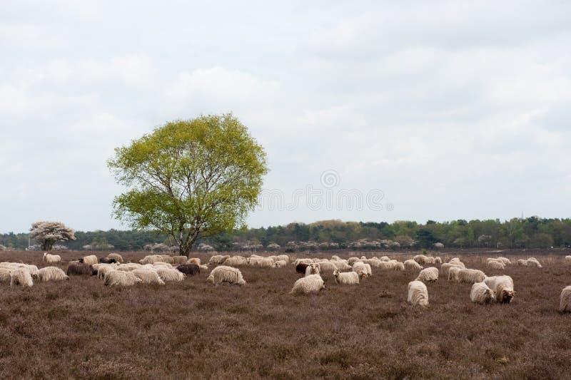 Moutons frôlant dans la bruyère images stock