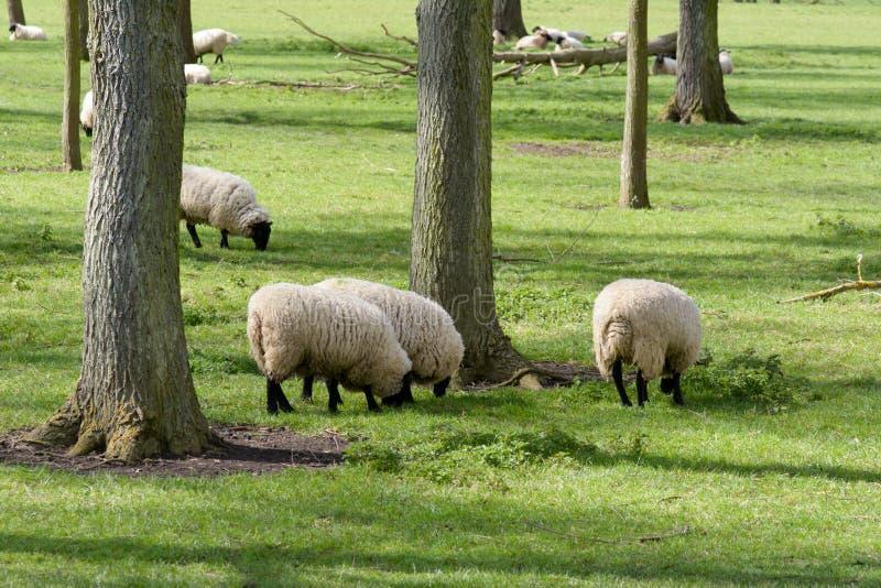 Moutons frôlant dans le domaine dans la campagne anglaise photographie stock libre de droits