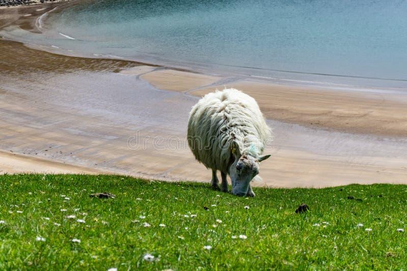 Moutons frôlant dans les pâturages et les falaises irlandaises images libres de droits