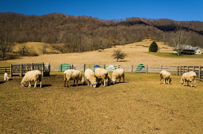 Moutons frôlant dans un domaine avec un fond de montagne photographie stock