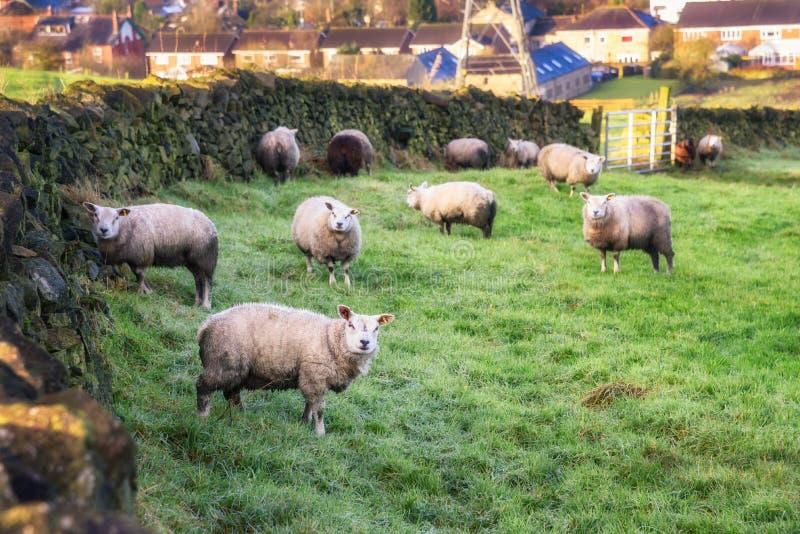 Moutons frôlant la campagne R-U images libres de droits