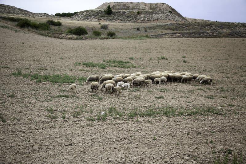 Moutons frôlant le champ images stock