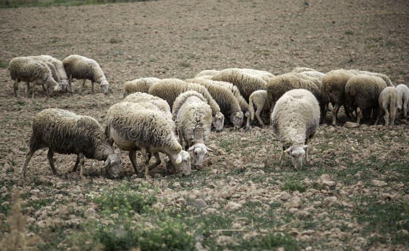 Moutons frôlant le champ photographie stock