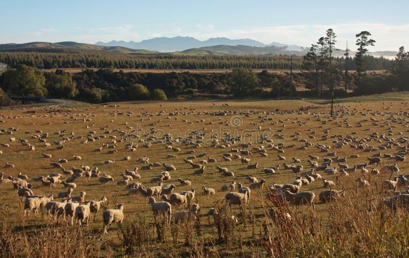 Moutons frôlant près du lac Hauruko dans le Southland en île du sud au Nouvelle-Zélande image stock