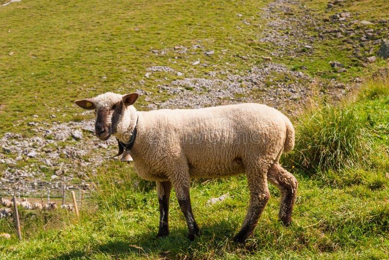moutons frôlant sur un haut pâturage dans les Alpes suisses photographie stock