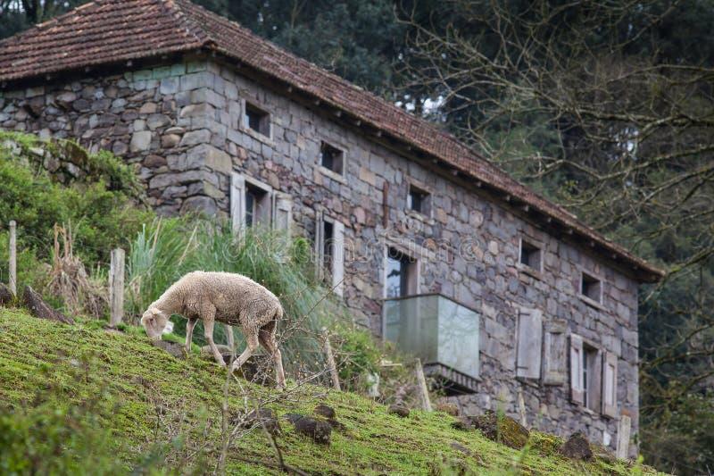 Moutons frôlant avec une maison en pierre à l'arrière-plan image stock