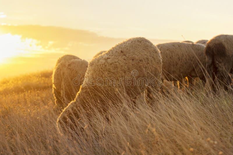 Moutons frôlant dans le domaine appréciant de dernières minutes de soleil photographie stock libre de droits