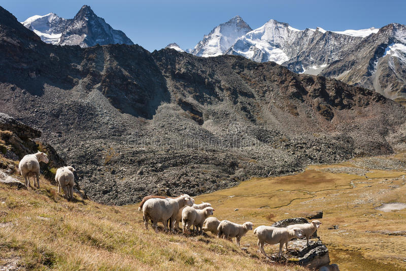 Moutons frôlant dans les Alpes suisses images stock