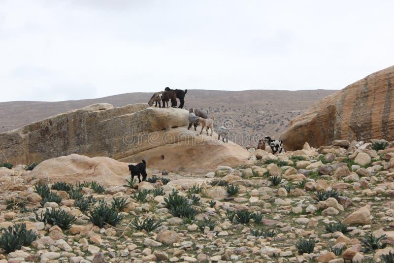 Moutons frôlant dans les montagnes photo stock
