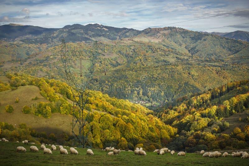 Moutons frôlant dans les montagnes - montagnes carpathiennes photos stock