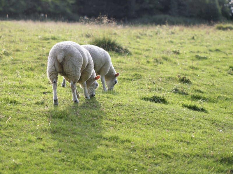 Moutons Frôlant Dans Un Domaine Image libre de droits