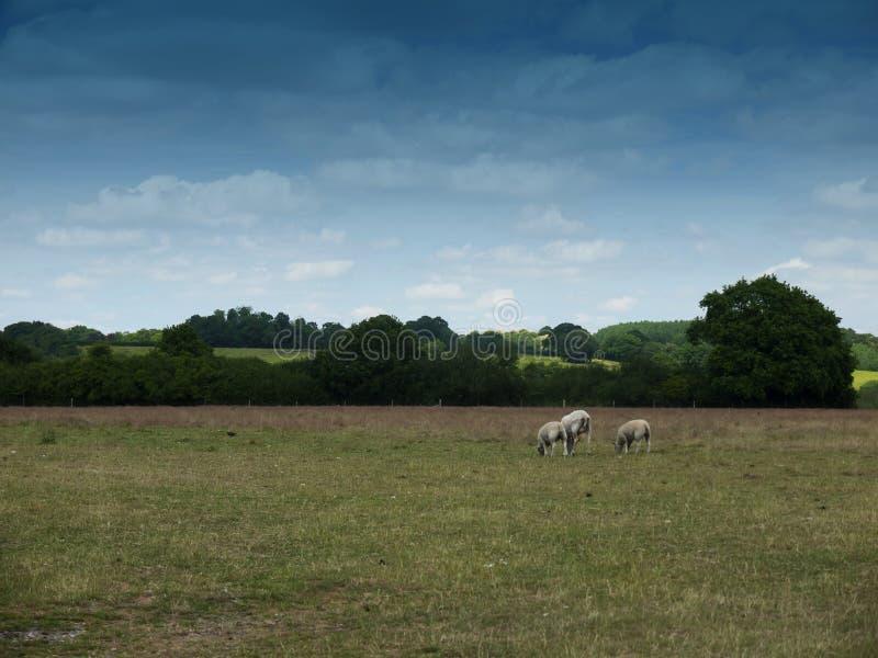 Moutons frôlant dans un domaine anglais de ferme de pays photographie stock