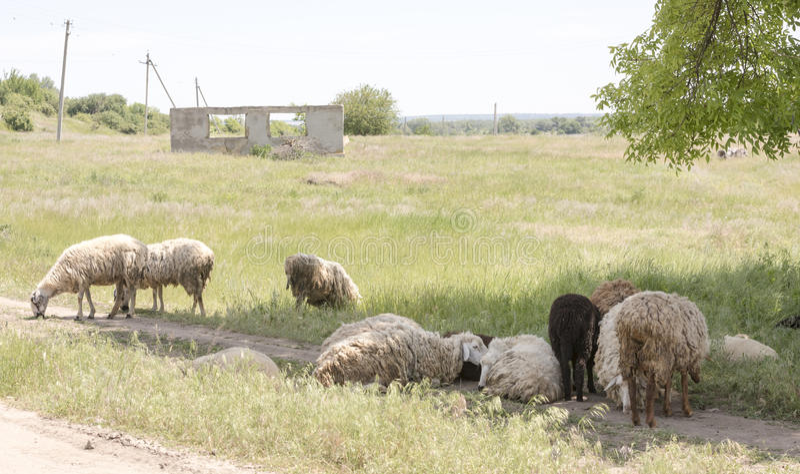 Moutons frôlant sur le pâturage un jour chaud d'été images stock