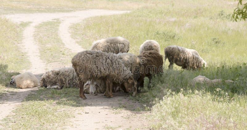 Moutons frôlant sur le pâturage un jour chaud d'été photo libre de droits