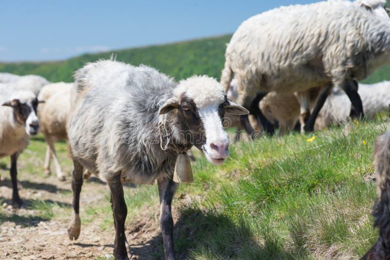 Moutons frôlant sur les pentes de l'Ukrainien Carpathiens photographie stock libre de droits