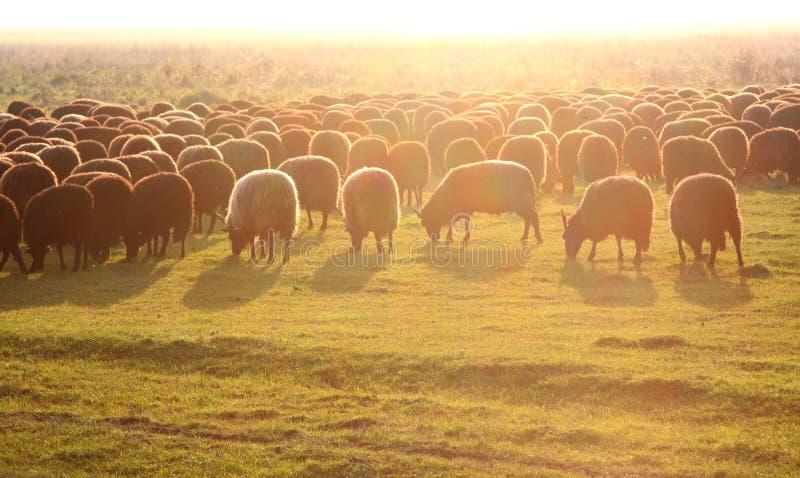 Moutons hongrois célèbres de racka dans le domaine contre le coucher du soleil, parc national de Hortobagy photographie stock