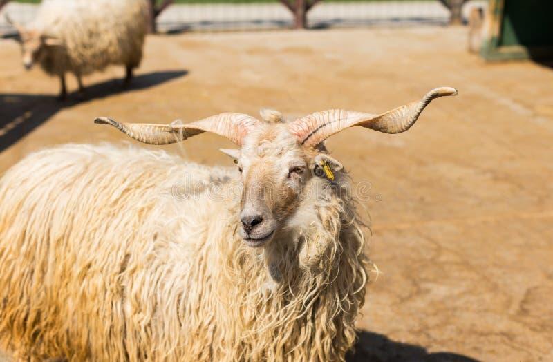 Moutons hongrois de racka photo stock
