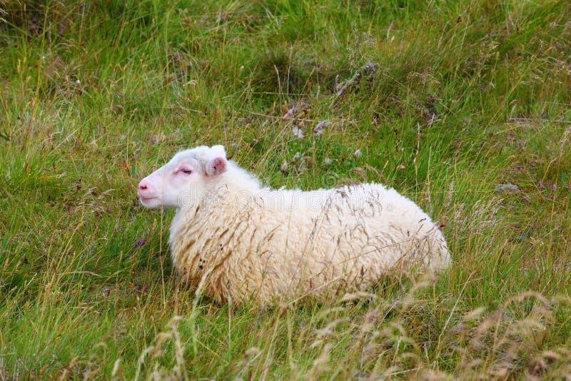 Moutons islandais photo libre de droits