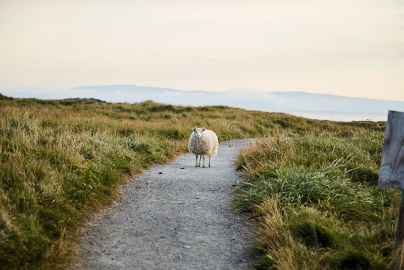 Moutons islandais se tenant sur la route photos stock