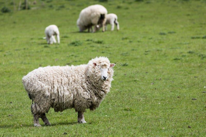 Moutons laineux sur l'herbe verte en péninsule du ` s Otago du Nouvelle-Zélande photographie stock