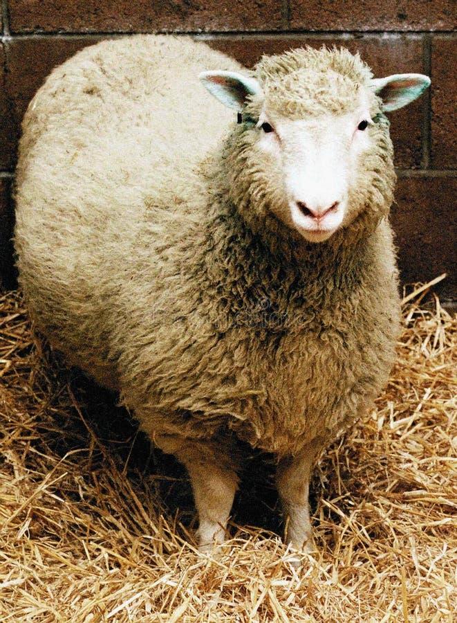 Moutons le temps de pr? au printemps photos libres de droits