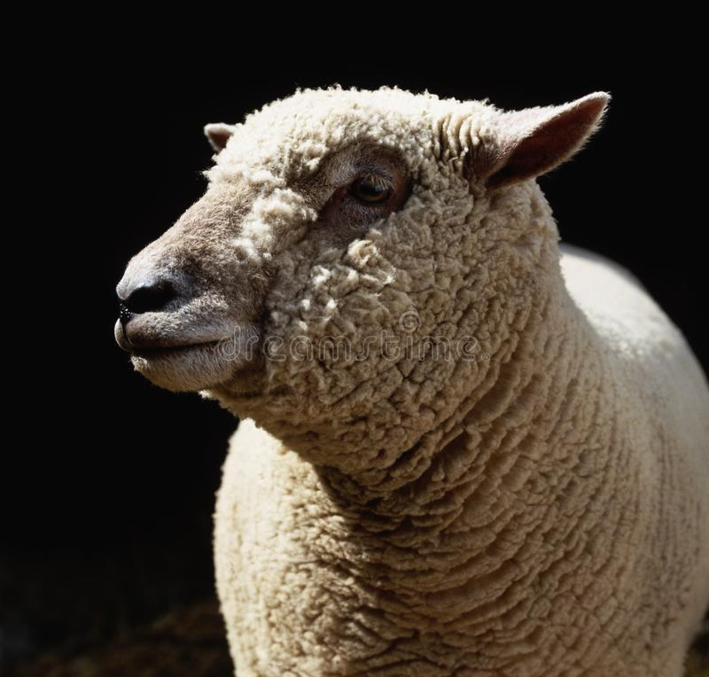 Moutons le temps de pr? au printemps images libres de droits