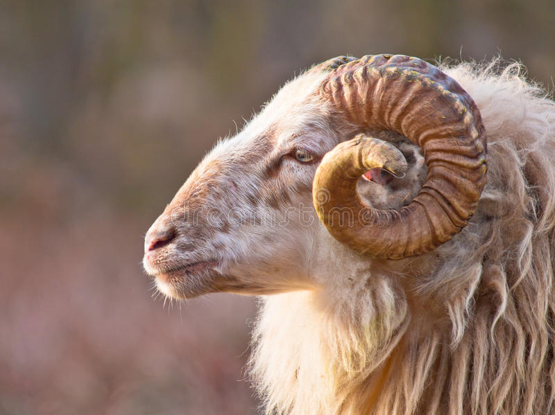 Moutons long-tailed mâles image stock