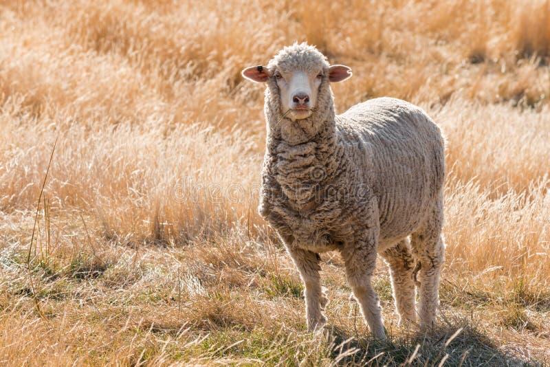 Moutons mérinos curieux se tenant sur la colline herbeuse images stock