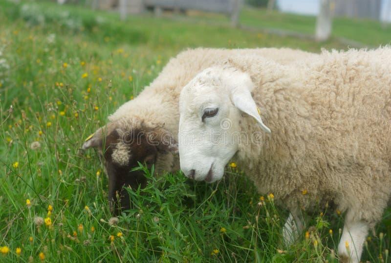Download Moutons Mangeant L'herbe Dans Un Pré Vert Image stock - Image du campagne, scène: 77163585