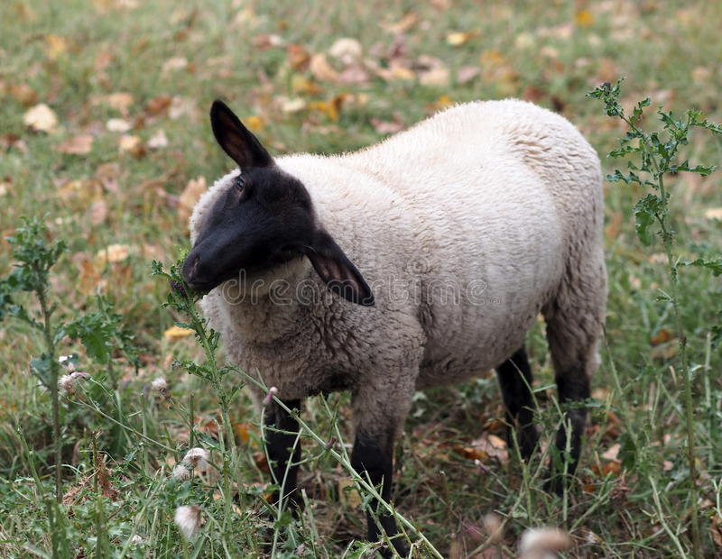 Moutons mangeant l'usine dans le domaine photo stock