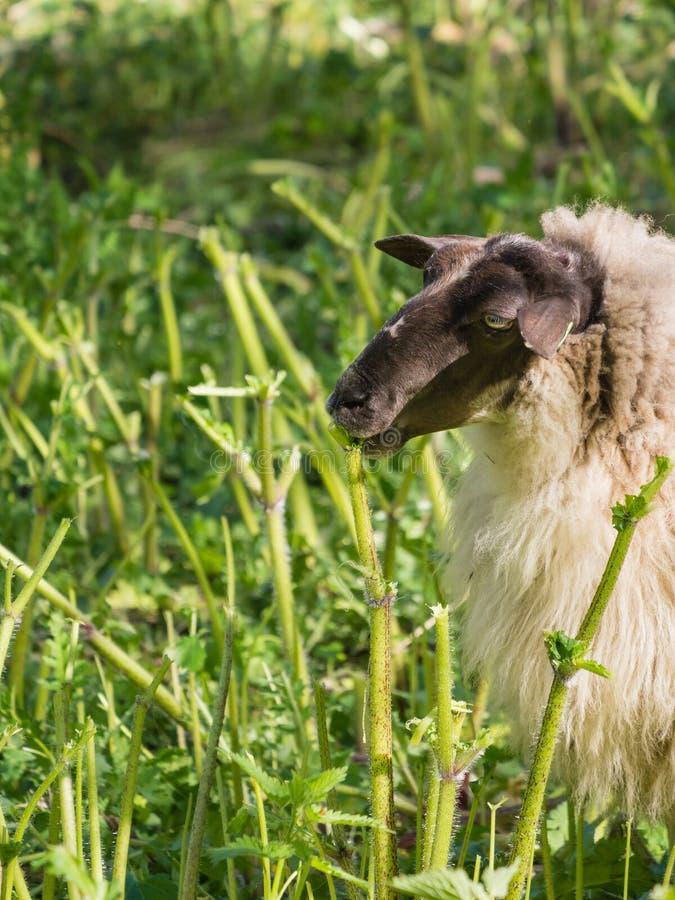 Moutons mangeant la berce photos libres de droits