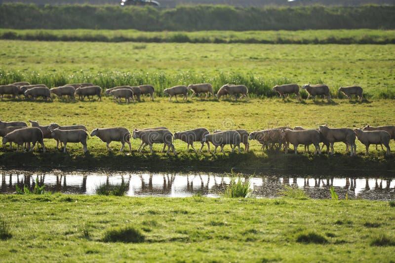 Moutons marchant dans la ligne photo stock
