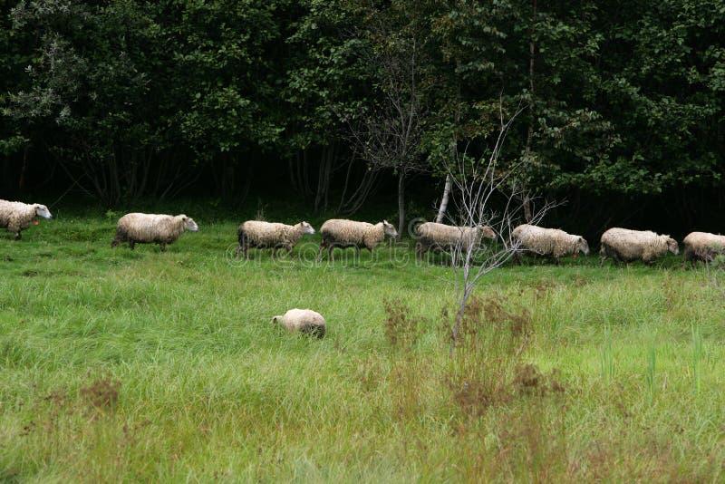 Moutons marchant dans une ligne par un champ d'herbe image libre de droits