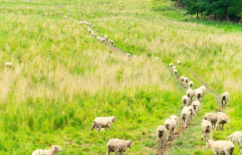 Moutons marchant loin à travers le champ photos libres de droits