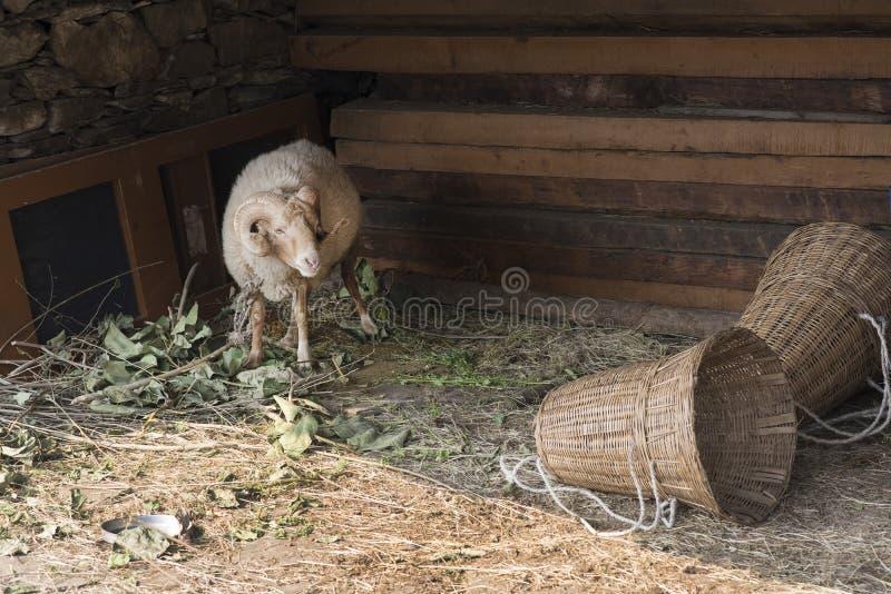 Moutons masculins de l'Himalaya avec de grands klaxons incurvés photo stock