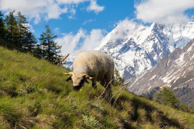 Moutons masculins de Ram mangeant l'herbe sur une colline verte dans les Alpes suisses au-dessus de Zermatt, Suisse, un jour lumi photo stock