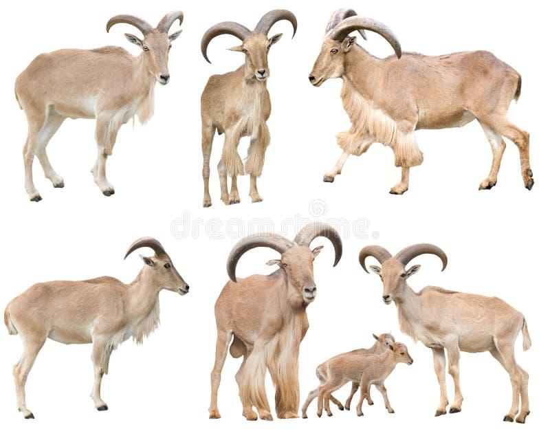 Moutons masculins et femelles de Barbarie d'isolement photographie stock libre de droits