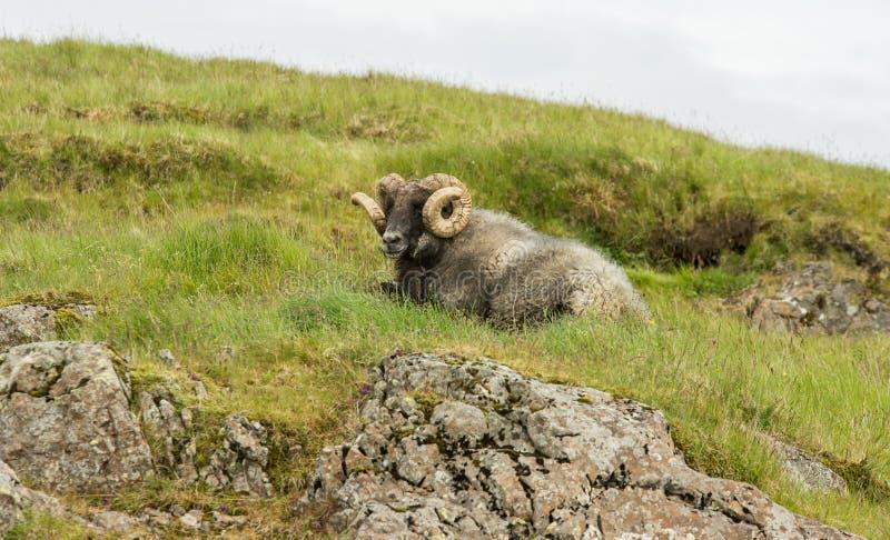 Moutons masculins islandais images stock