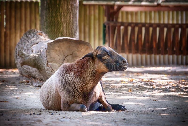 Moutons mignons dans le jardin zoologique photographie stock libre de droits