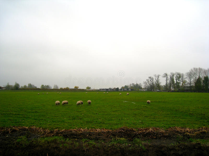 Moutons néerlandais dans un domaine photos libres de droits
