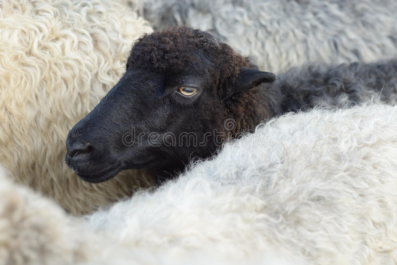 Moutons noirs dans le troupeau photographie stock