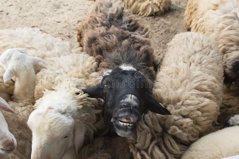 Moutons noirs dans le troupeau de moutons blancs Visage drôle des moutons noirs photographie stock libre de droits