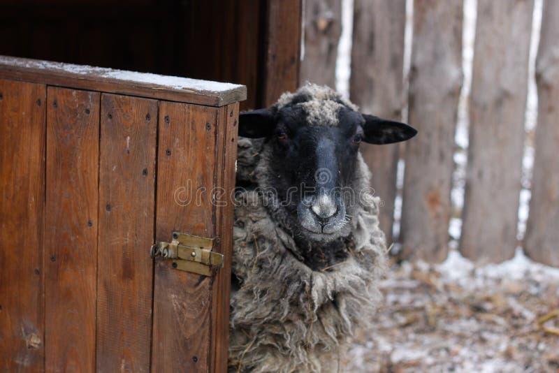 Moutons noirs et blancs près de la grange photo libre de droits
