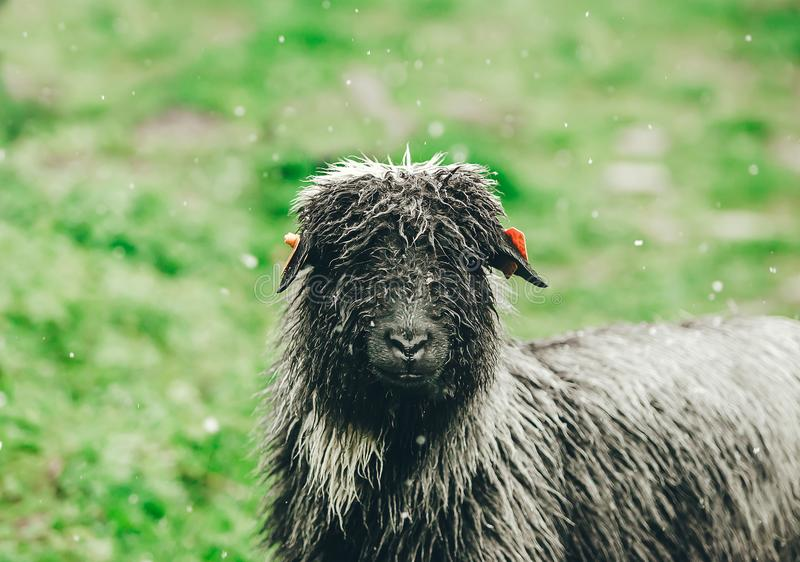 Moutons noirs regardant la caméra sur le pré vert Il neige photographie stock